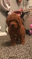 Red Extensively Dna Health Tested Cavapoo Babies
